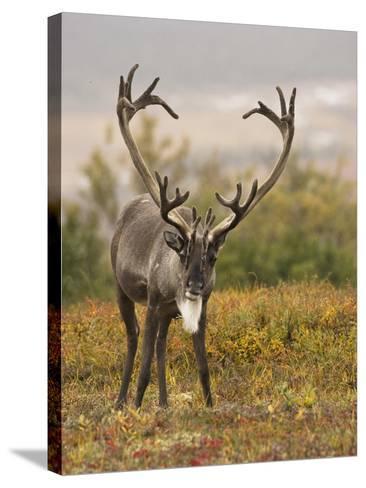 Barren-Ground Caribou (Rangifer Tarandus Groenlandicus) on the Tundra of Denali National Park, USA-Joe McDonald-Stretched Canvas Print
