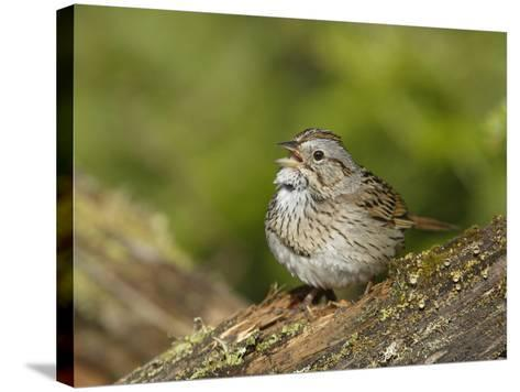 Lincoln's Sparrow Singing-Garth McElroy-Stretched Canvas Print