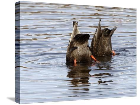 American Black Ducks (Anas Rubripes) Feeding-Garth McElroy-Stretched Canvas Print