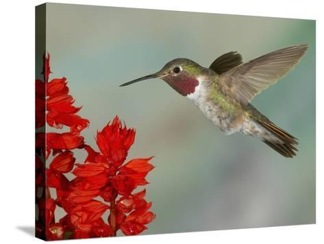 Broad-Tailed Hummingbird (Selasphorus Platycercus) Male Flying-Jack Milchanowski-Stretched Canvas Print
