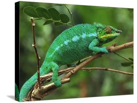 Male Panther Chameleon (Furcifer Pardalis) Lokobe Nature Special Reserve, Northern Madagascar-Thomas Marent-Stretched Canvas Print