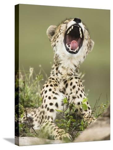 Cheetah with its Mouth Open, Showing its Teeth and Tongue (Acinonyx Jubatus)-Joe McDonald-Stretched Canvas Print