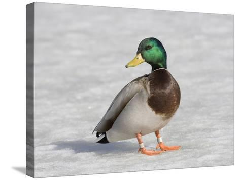 Male Mallard Duck (Anas Platyrhynchos), Montana, USA-Neal Mischler-Stretched Canvas Print