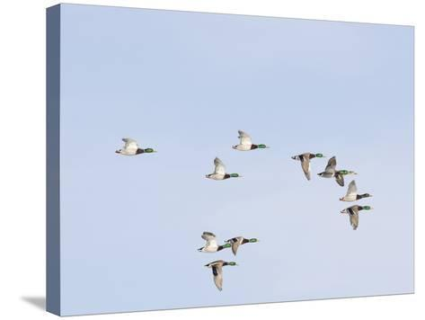 Male and Female Mallard Ducks (Anas Platyrhynchos), Montana, USA-Neal Mischler-Stretched Canvas Print