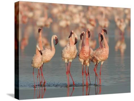 Lesser Flamingos Doing their Courtship Dance, Phoenicopterus Minor, Lake Nakuru, Kenya, Africa-Arthur Morris-Stretched Canvas Print
