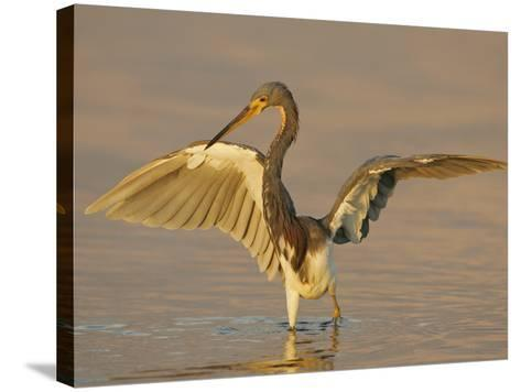 Tricolored Heron in Winter Plumage with its Wings Lifted While Fishing, Egretta Tricolor, Florida-Arthur Morris-Stretched Canvas Print