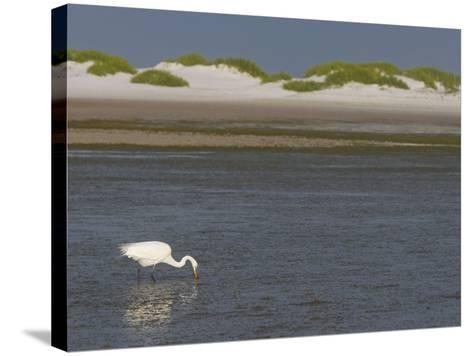 Great Egret Hunting in a Lagoon Behind Coastal Sand Dunes, Ardea Alba, Fort Desoto Park, Florida-Arthur Morris-Stretched Canvas Print