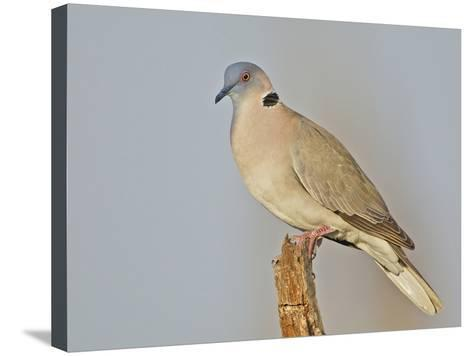 African Morning Dove, Streptopelia Decipiens, Africa-Arthur Morris-Stretched Canvas Print