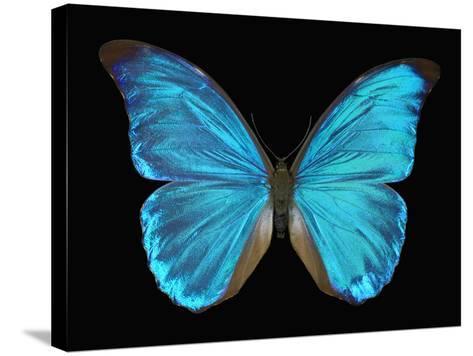 Male Adult Blue Morpho Butterfly (Morpho Amathonte)-Jeffrey Miller-Stretched Canvas Print