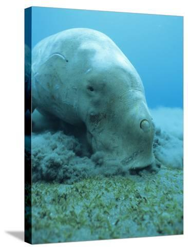 Dugong (Dugong Dugon) Feeding on Sea Grass-Louise Murray-Stretched Canvas Print