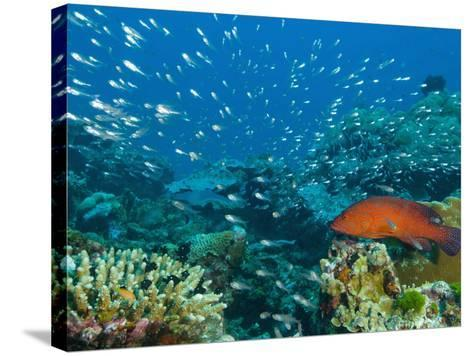 Coral Hind or Peacock Grouper (Cephalopholis Miniata) Hunting Small Fish over a Coral Reef-Louise Murray-Stretched Canvas Print