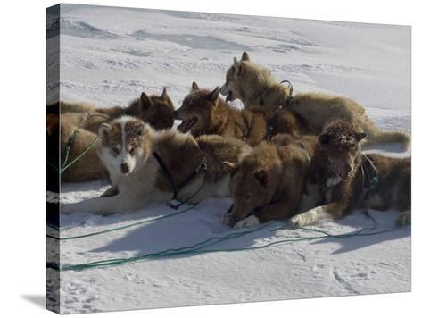 Husky Dog Team Resting, Qaanaaq Greenland-Louise Murray-Stretched Canvas Print
