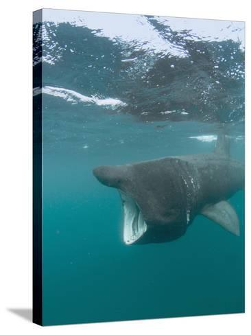 Basking Shark (Cetorhinus Maximus) with its Open Mouth Feeding on Plankton-Louise Murray-Stretched Canvas Print