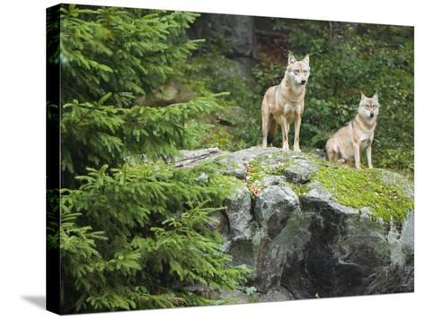 Gray Wolves (Canis Lupus), Bavarian Forest National Park, Germany, Europe-Fritz Polking-Stretched Canvas Print