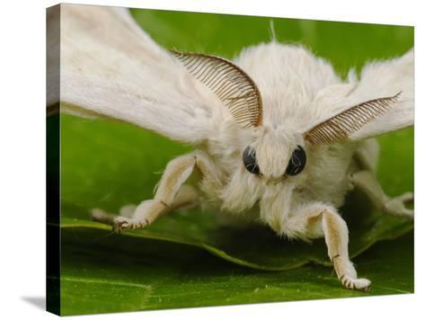 Silk Moth Adult Male (Bombyx Mori)-Fabio Pupin-Stretched Canvas Print