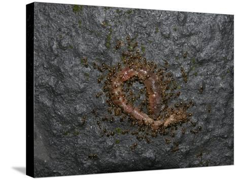 Ants Eating a Dead Earthworm-Robert & Jean Pollock-Stretched Canvas Print