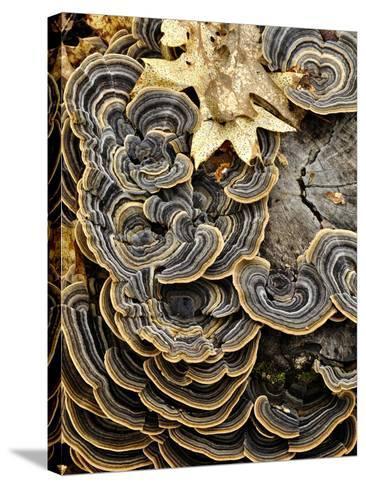 Turkey Tails (Trametes Versicolor) Growing on a Stump, Southwest Oregon, USA-Robert & Jean Pollock-Stretched Canvas Print