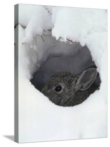 Mountain Cottontail (Sylvilagus Nuttallii) Hiding in a Hole in the Snow, Front Range, Colorado-Robert & Jean Pollock-Stretched Canvas Print