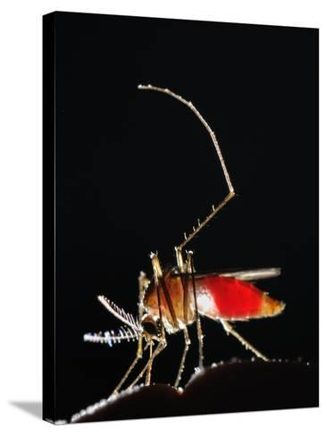 Mosquitos are Usually Active During the First Night Hours, Seen Here Feeding on Human Blood-Fabio Pupin-Stretched Canvas Print