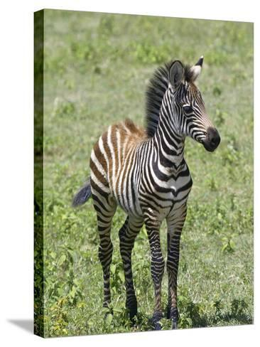Young Burchell's or Common Zebra, Equus Burchellii, on the Savanna of East Africa-Arthur Morris-Stretched Canvas Print