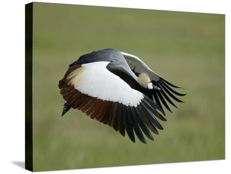 Crowned Crane in Flight, Downstroke, Tanzania-Arthur Morris-Stretched Canvas Print