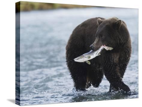 Brown Bear (Ursus Arctos) with Salmon (Salmonidae), Geographic Harbor, Katmai National Park-Arthur Morris-Stretched Canvas Print