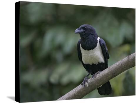 Indian Pied Crow, Corvus Albus, Kenya, Africa-Arthur Morris-Stretched Canvas Print