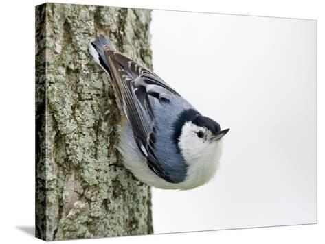 White-Breasted Nuthatch (Sitta Carolinensis), Ontario, Canada-Arthur Morris-Stretched Canvas Print