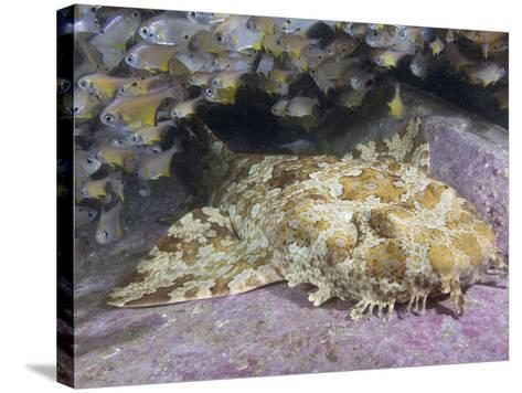 Banded Wobbegong Shark (Orectolobus Halei), Fish Rock, South West Rocks, New South Wales-Andy Murch-Stretched Canvas Print