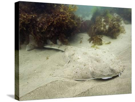 California or Pacific Angel Shark (Squatina Californica), Ventura, California, USA, Pacific Ocean-Andy Murch-Stretched Canvas Print