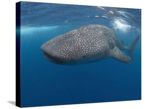 Whale Shark (Rhincodon Typus), Gulf of Mexico, Louisiana, USA-Andy Murch-Stretched Canvas Print