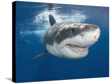 Great White Shark (Carcharodon Carcharias), Guadalupe Island, Mexico, Eastern Pacific Ocean-Andy Murch-Stretched Canvas Print
