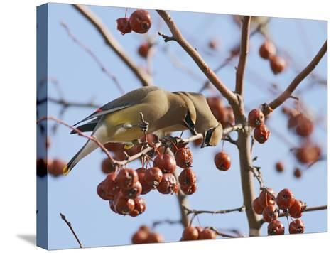 Cedar Waxwing (Bombycilla Cedrorum)-Robert Servranckx-Stretched Canvas Print