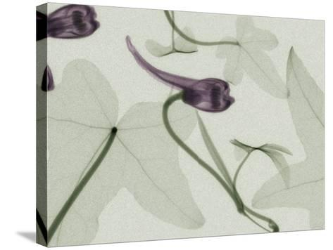 X-Ray Ivy Leaves and Flowers-George Taylor-Stretched Canvas Print
