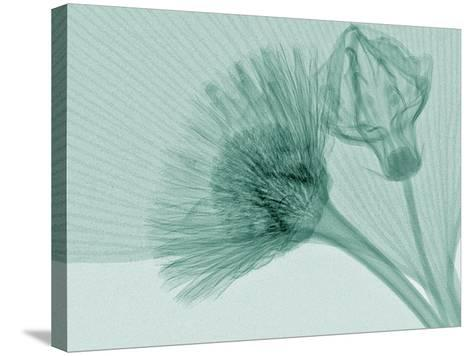 X-Ray of Ginkgo Leaf and Chives Flowers-George Taylor-Stretched Canvas Print