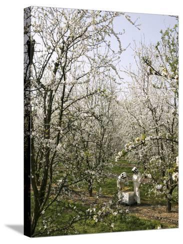 Beekeepers Placing Honey Bee Hives Among Almond Trees in an Orchard-Eric Tourneret-Stretched Canvas Print