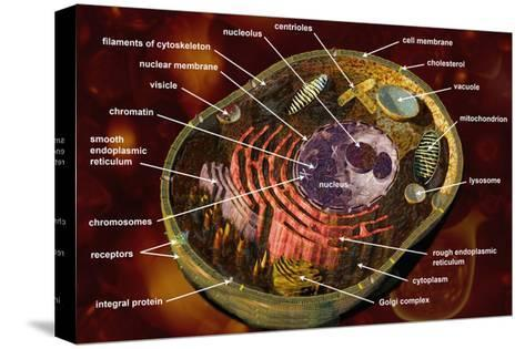 Biomedical Illustration of a Generalized Animal Cell Section Showing its Major Organelles Labeled-Carol & Mike Werner-Stretched Canvas Print