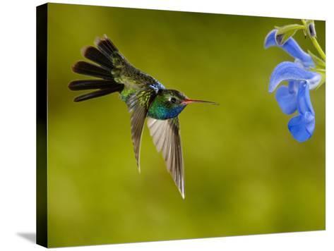 Broad-Billed Hummingbird (Cynanthus Latirostris) Male Feeding on a Blue Tubular Flowers, Arizona-Dave Watts-Stretched Canvas Print