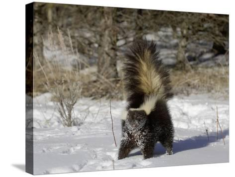 Striped Skunk (Mephitis Mephitis) in Snow with Tail Raised Ready to Spray, USA-Dave Watts-Stretched Canvas Print