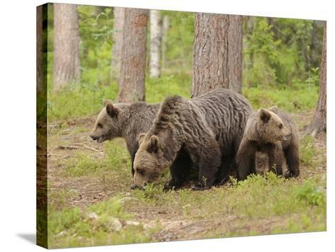 European Brown Bear (Ursus Arctos) Mother and Cubs, Finland-Dave Watts-Stretched Canvas Print