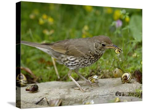 Song Thrush (Turdus Philomelos) at Anvil Smashing Land Snails on Rock, UK-Dave Watts-Stretched Canvas Print