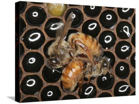 Queens Honey Bees Fighting-Eric Tourneret-Stretched Canvas Print