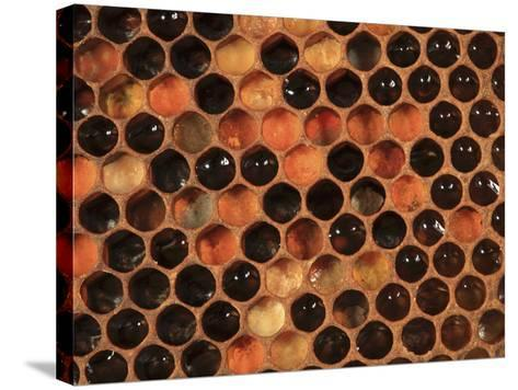 Honey Bee Hive Frame with Cells Filled with Honey and Pollen-Eric Tourneret-Stretched Canvas Print