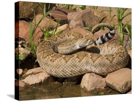 Western Diamondback Rattlesnake (Crotalus Atrox) at a Desert Waterhole, Western USA-Tom Walker-Stretched Canvas Print