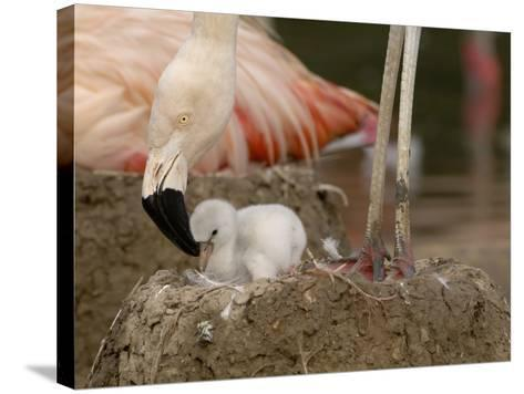 Chilean Flamingo (Phoenicopterus Chilensis) Adult with Small Chick in the Nest, Captive-Dave Watts-Stretched Canvas Print