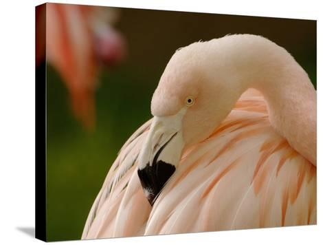 Chilean Flamingo Head (Phoenicopterus Chilensis), Captive-Dave Watts-Stretched Canvas Print