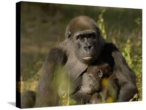 Western Lowland Gorilla (Gorilla Gorilla Gorilla) Mother Breastfeeding Young, Captive-Dave Watts-Stretched Canvas Print