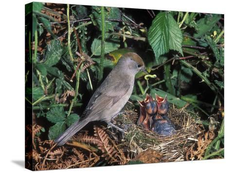 Blackcap (Sylvia Atricapilla) Female Feeding Chicks in the Nest, France-Dave Watts-Stretched Canvas Print