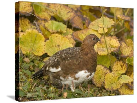 Willow Ptarmigan Changing to its Winter White Plumage (Lagopus Lagopus), Alaska, USA-Tom Walker-Stretched Canvas Print
