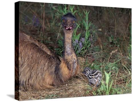 Emu (Dromaius Novaehollandiae) Male with Chick at the Nest, Queensland, Australia-Dave Watts-Stretched Canvas Print
